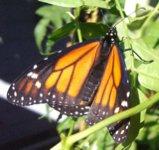 Monarch093007A